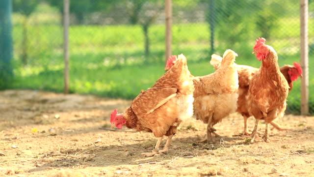intervallo libero della fattoria polli in (gallus domesticus) - appollaiarsi video stock e b–roll