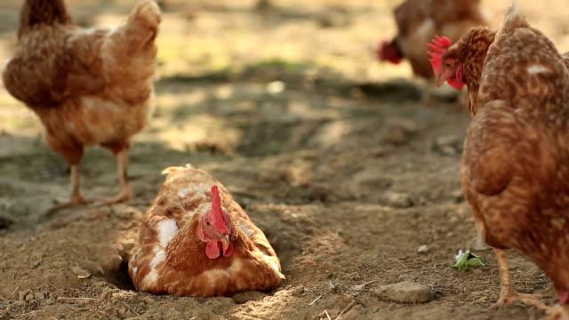Free Range Hens in a farmyard (Gallus domesticus) video
