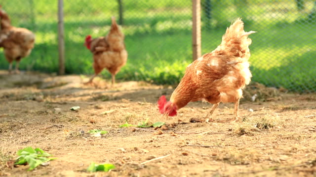 Free Range Hens in a farmyard (Gallus domesticus) video