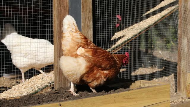 Free Range Pet Chickens