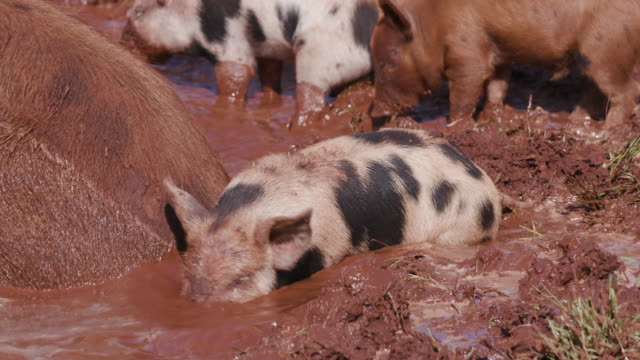 Free range pigs wallowing in the mud video