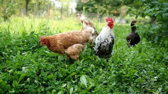 vídeos de stock, filmes e b-roll de ar livre galo e galinhas pastando no jardim - ave doméstica