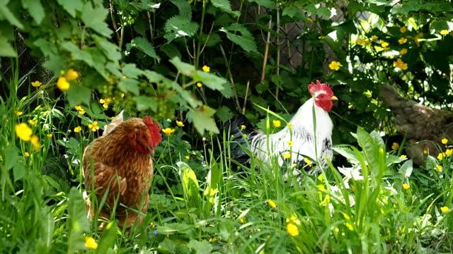 free range rooster and chickens grazing in the garden - żywy inwentarz filmów i materiałów b-roll