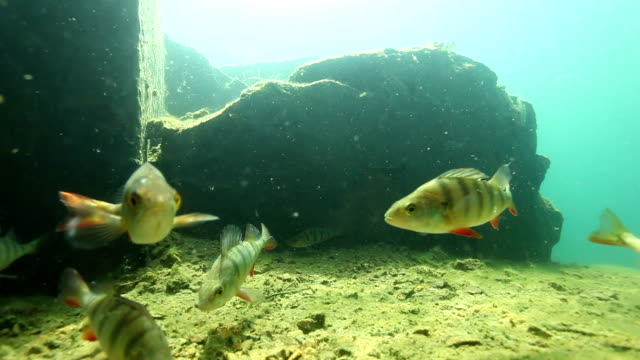 Freediver watching couple of perch underwater video
