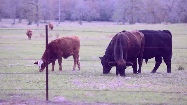 Free-range beef cattle, including a bull, cows and calves,