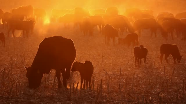 Free-range cattle, including cows and calves, on dusty field at sunset