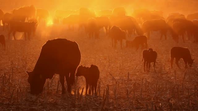 bydło z wolnego wybiegu, w tym krowy i cielęta, na zakurzonym polu o zachodzie słońca - żywy inwentarz filmów i materiałów b-roll