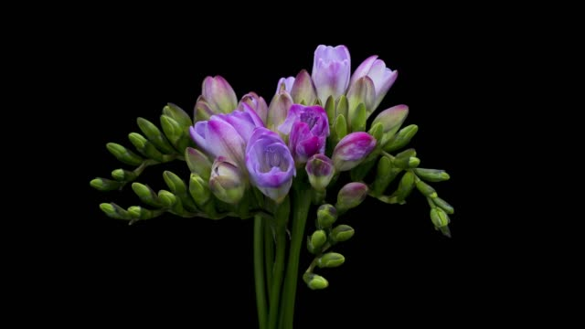 vídeos de stock, filmes e b-roll de lapso de tempo de floração de frésia - cabeça da flor