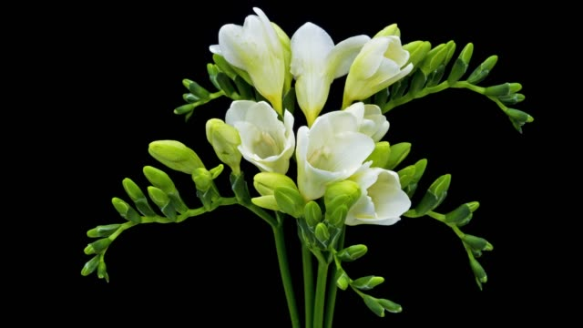 freesia white blooming - in fiore video stock e b–roll