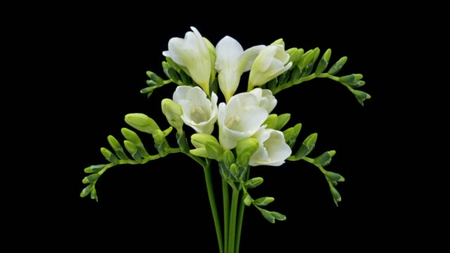 freesia white blooming - fiori video stock e b–roll