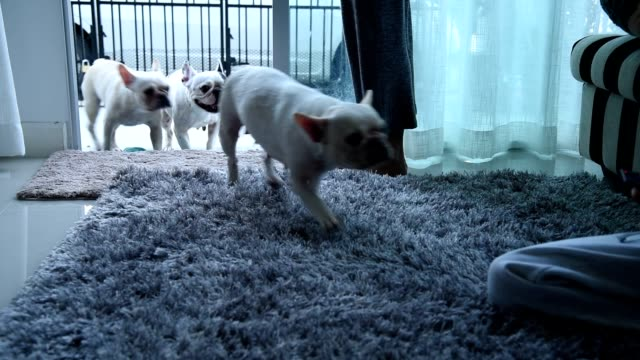 3 french bull dog dogs run in to the home. - tappetino video stock e b–roll