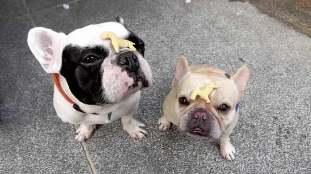 French bull dog waiting to eat threat on their face French bull dog waiting to eat threat on their face,slow motion snack stock videos & royalty-free footage