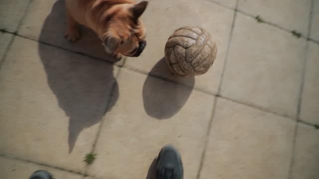 fransk bulldog njuter utomhus - hunddjur bildbanksvideor och videomaterial från bakom kulisserna