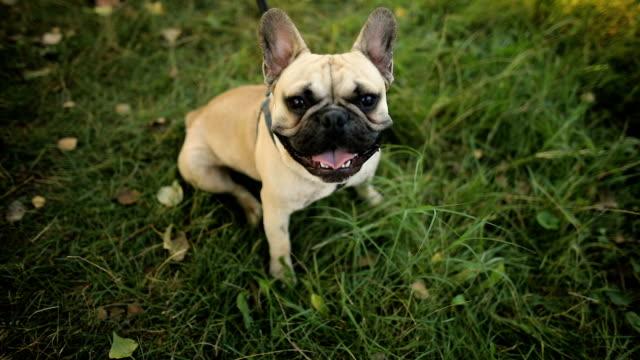 French Bulldog. French bulldog dog walking on grass French Bulldog. French bulldog dog walking on grass leash stock videos & royalty-free footage