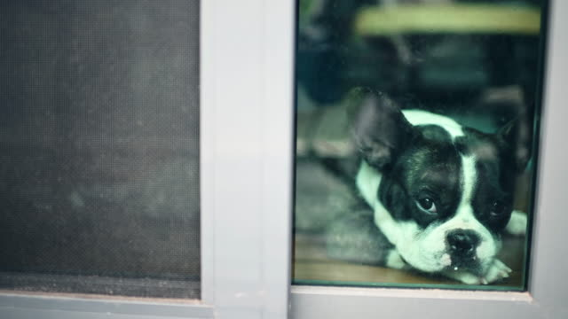 french bulldog looking through window waiting sad