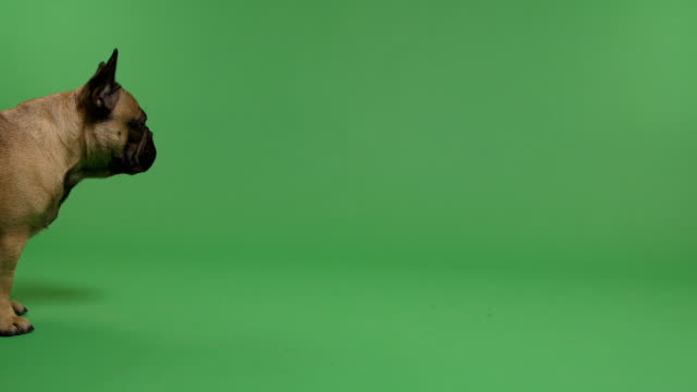 French Bulldog on a green screen