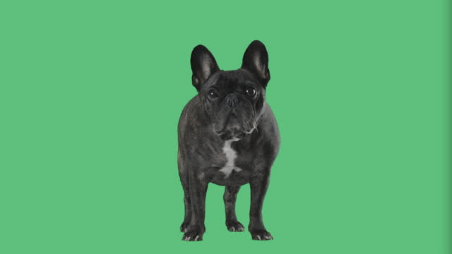 French Bulldog on green screen video