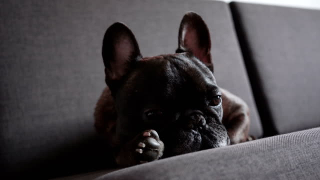 fransk bulldog på soffa - brun beskrivande färg bildbanksvideor och videomaterial från bakom kulisserna