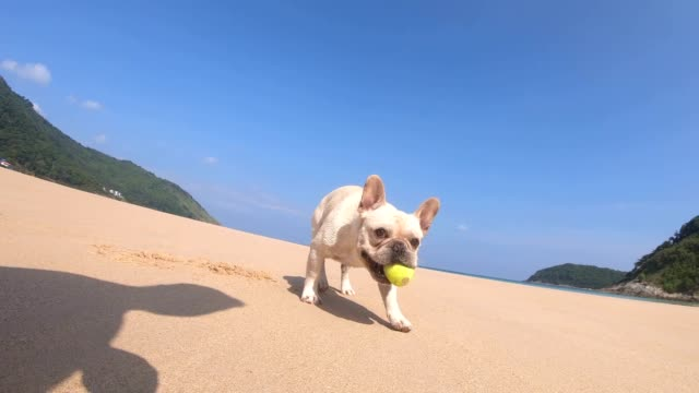 French Bulldog Playing With An Blue Ball at the beach