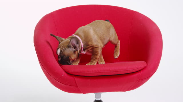French bulldog puppy exploring on a red chair, shot on R3D video
