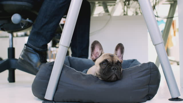 French Bulldog Puppy Lying On Bed Under Desk In Office Whilst Owner Works