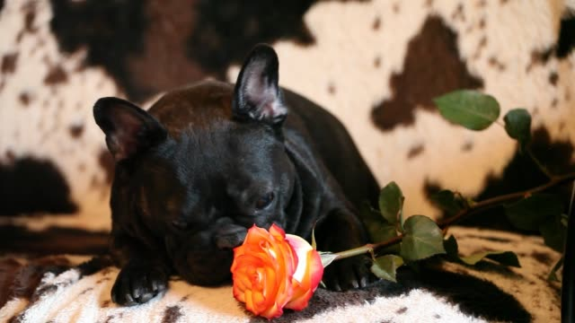 french bulldog rose flower