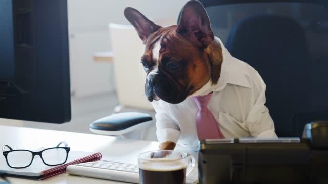 vídeos y material grabado en eventos de stock de bulldog francés sentado en la oficina mirando la pantalla del ordenador - cube
