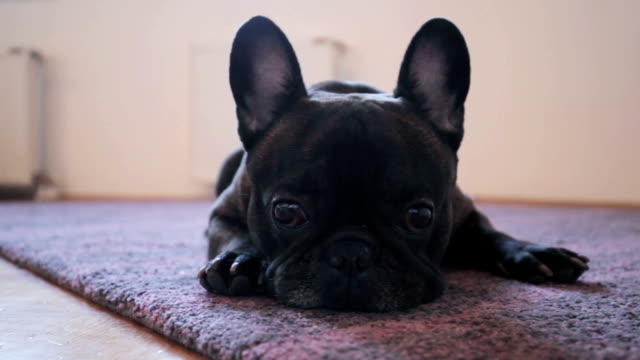 French Bulldog French Bulldog hound stock videos & royalty-free footage