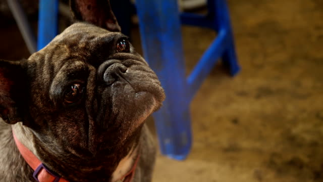 French bulldog waiting for a food. video