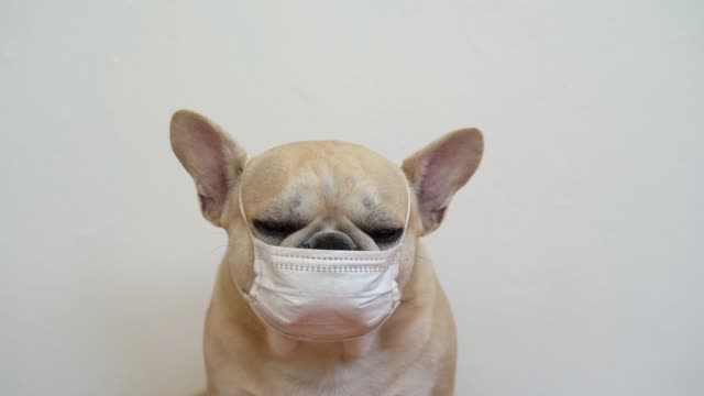 French bulldog wearing face mask