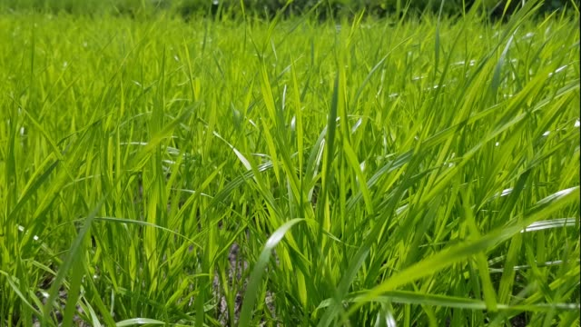 Fresh and juicy grass on a green lawn closeup. video