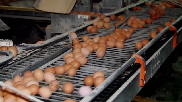 vídeos de stock, filmes e b-roll de frango cru fresco e ovos em um transportador de correia - ave doméstica