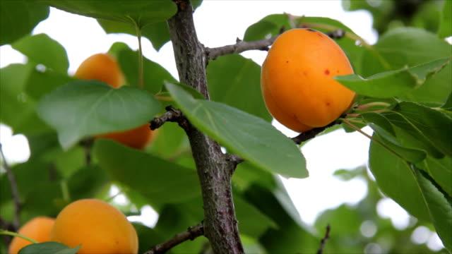 albicocca su un albero fresco - albicocco video stock e b–roll