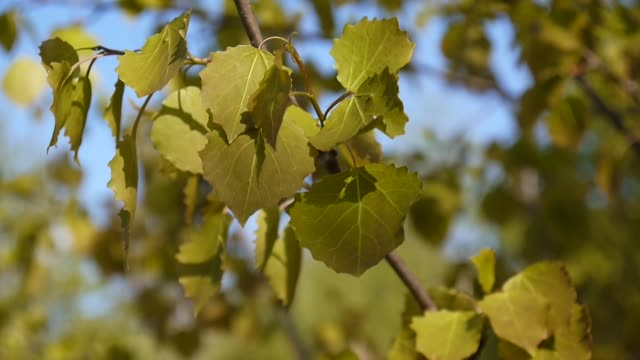 Fresh aspen leaves in spring tremble in the wind blue sky background. Populus tremula. Footage of shutting static camera video