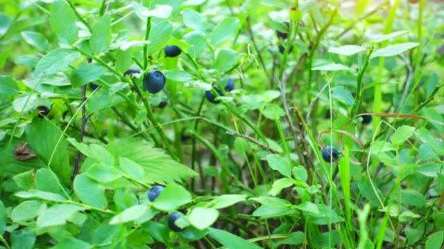 Fresh blue berries in a forest. Raw fresh blueberries close-up. video