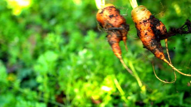 Fresh carrots covered in soil swinging video