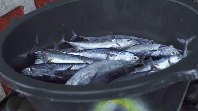 Fresh catching mackerel fish in fishing boat. Close up fresh catch in boat while fishing in sea water