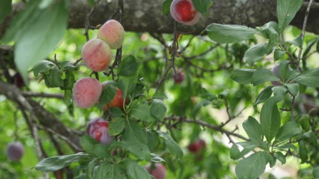 Fresh cherries on tree