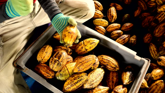 Fresh cocoa pod cut exposing cocoa seeds, with a cocoa plant