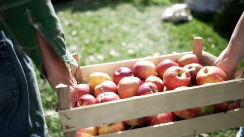 Fresh Country Fruit Close-up shot of two unrecognizable persons carrying a wooden crate of freshly picked apples through the countryside backyard. fruit stock videos & royalty-free footage