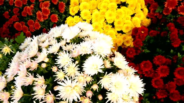 daisy och pion blommor i blomman marknaden - blomstermarknad bildbanksvideor och videomaterial från bakom kulisserna