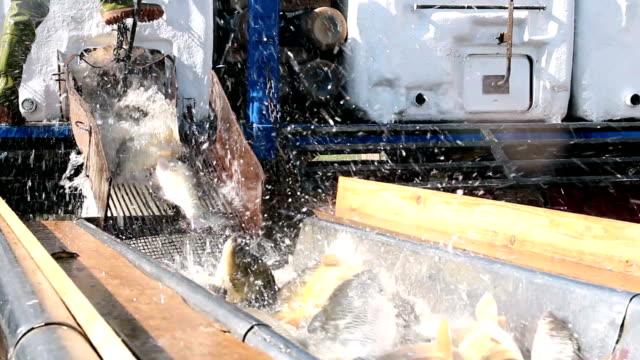 frischen fisch für den markt - fang stock-videos und b-roll-filmmaterial