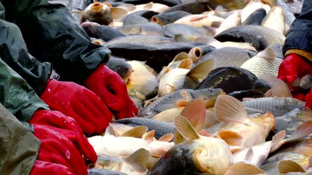 Fresh fish in the hands of fishermen video