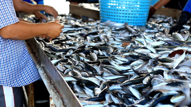 Fresh fishes from Andaman sea video