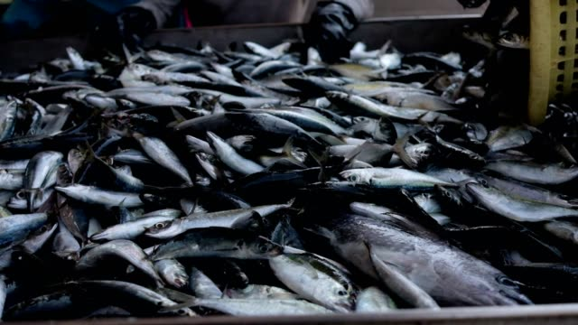 fresh fishes sorting by size in the fish harbor - banchi di pesci video stock e b–roll