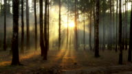 istock Fresh foggy morning in a pine forest, the sun's rays falling to the ground through the branches of trees 1168188878