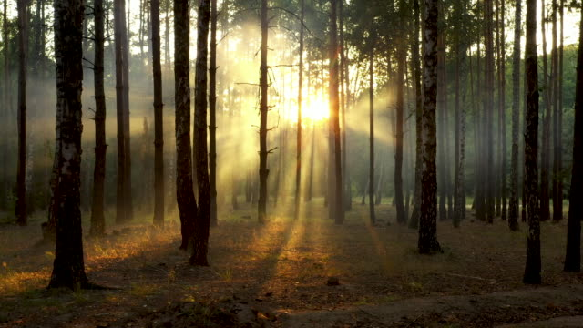 Fresh foggy morning in a pine forest, the sun's rays falling to the ground through the branches of trees