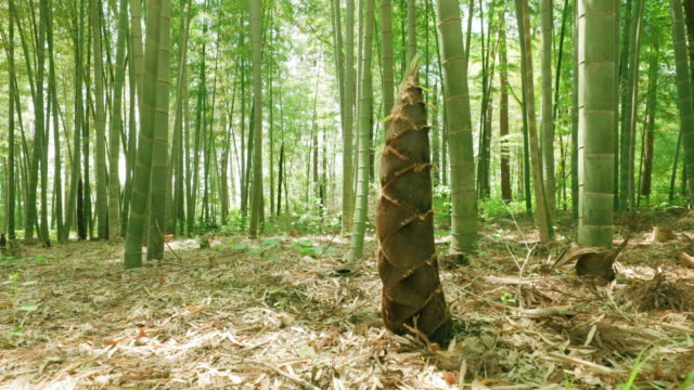 太陽に輝く新鮮な緑の竹 - 笹点の映像素材/bロール