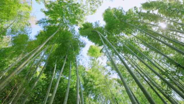 fresh green bamboo swaying in the wind - vivid 4k video stock videos & royalty-free footage