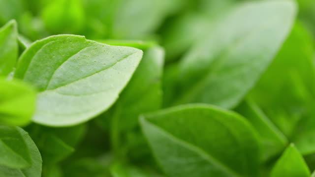 färska gröna basilikablad på nära håll. - basilika ört bildbanksvideor och videomaterial från bakom kulisserna